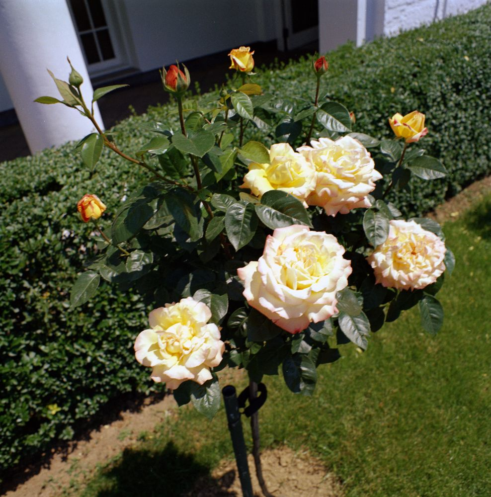 Kn c17883 flowers in the rose garden of the white house john f flowers in the rose garden of the white house mightylinksfo