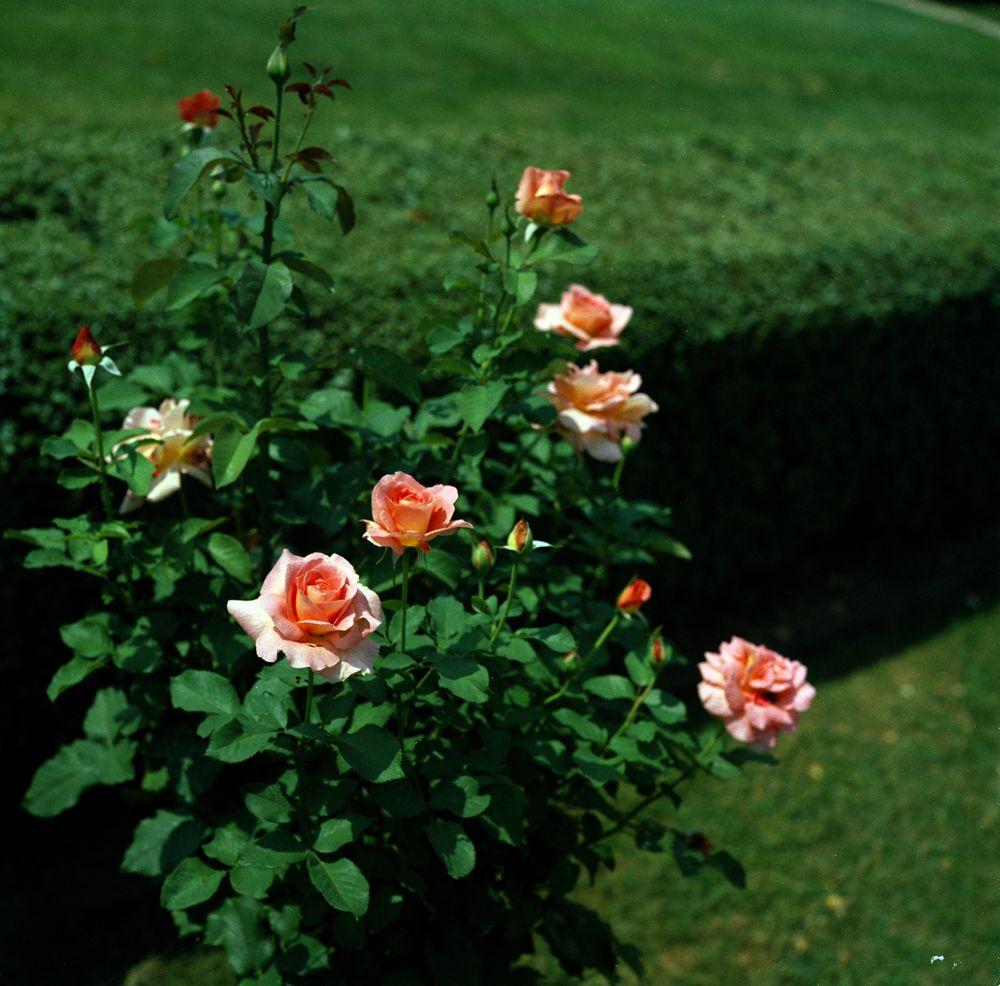 KN-C18630. Flowers in the Rose Garden of the White House - John F ...